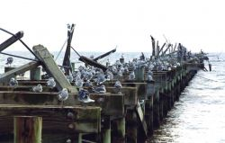 Seagulls, pelicans, and cormorants on a hurricane-damaged pier. Photo