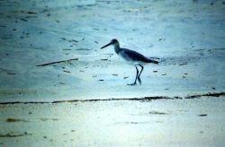 Sandpiper on the beach. Photo