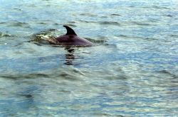 Dolphin caudal fin. Photo