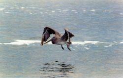 Pelican over Albemarle Sound. Photo