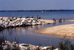 A flock of Canada geese along the Patuxent River in July Photo