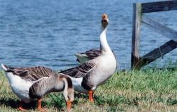 Non-native Chinese geese along the Patuxent River. Photo