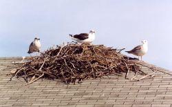 Gulls on osprey nest atop a boat house. Photo