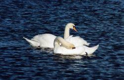 Mute swan pair Photo