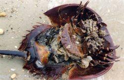 Large female horseshoe crab, washed ashore. Photo