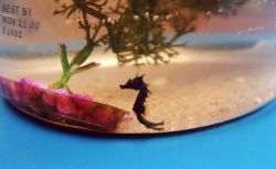 Young seahorse found in the Patuxent River. Photo