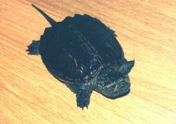 A year-old snapping turtle. Photo