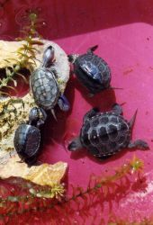 Baby terrapins from the same year class having various sizes, shapes, and markings. Photo