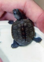 Diamondback terrapin hatchling with typical shell markings. Photo