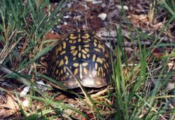 Box turtle. Photo