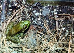 Frog. Photo
