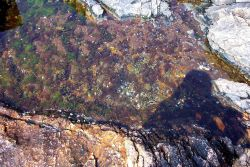 Tide pool with various types of algae below Bass Harbor Head Lighthouse. Photo
