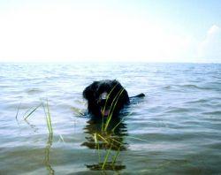 Chesapeake Water Dog, Canus aquus Chesapeakii Photo