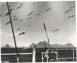 Seagulls flying in formation. Photo