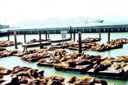 Sea lions lollygagging in the sun near Fisherman's Wharf. Photo
