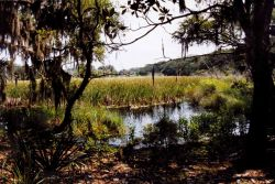 Tidal wetlands with oaks and Spanish moss Photo