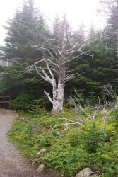 Another good tree for a Harry Potter story at West Quoddy Head. Photo
