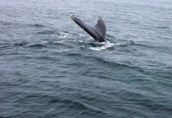 A humpback whale tail in the Gulf of Maine about 20 miles south of Bar Harbor. Photo