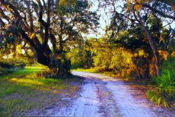 Live oaks and palmetto along the road to Sapelo Island Lighthouse Photo
