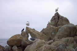 Seagulls at Point Pinos. Photo