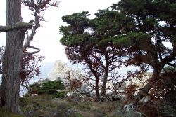 A magnificent headland at Point Lobos as seen through Monterey Cypress, Cupressus macrocarpa. Photo