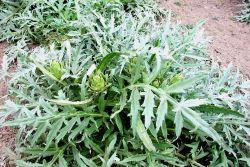 Artichoke plants. Photo