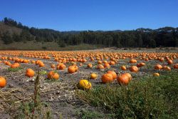 A pumpkin patch along Highway 1 north of Davenport. Photo