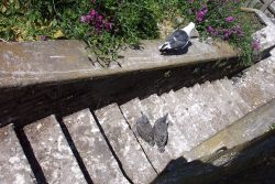 Western Gull chicks on a stairway at Alcatraz Island Photo
