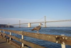 A seagull taking in the view of the San Francisco-Oakland Bay Bridge. Photo