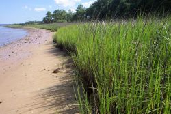 Wando River shoreline at low tide. Photo