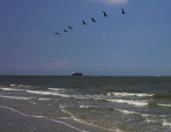 Pelicans and containership ship seen from near Fort Moultrie. Photo