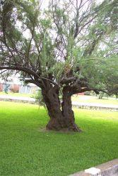 A gnarly tree at Stella Maris Catholic Church on Sullivans Island. Photo