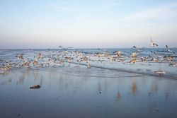 Sea gulls flying near the water at Cape Henry. Photo