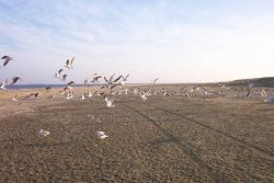 A flock of sea gulls taking off at Cape Henry. Photo