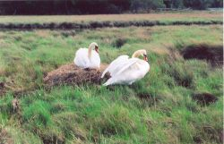 A mute swan nest. Photo