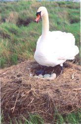 Mute swan guarding its nest. Photo