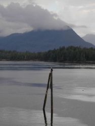 A bald eagle on a dolphin (structure) in the Inside Passage. Photo