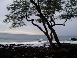 A rocky lava shoreline with a tree in silhouette. Photo