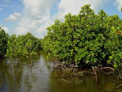Mangroves growing in the coral rocks of the Guam coastline. Photo