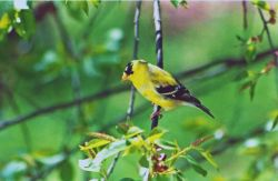 American goldfinch (Carduelis tristis) on a tree branch. Photo