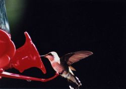 Hummingbird on a feeder. Photo