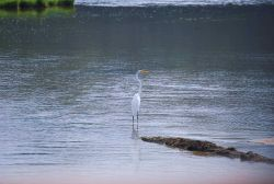 A great white egret or great egret (Ardea alba) on the Patuxent River. Photo