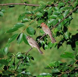 A pair of finches (species?) Photo