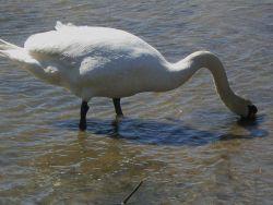 A mute swan (Cygnus olor) foraging Photo