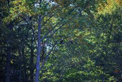 A pair of bald eagles (Haliaeetus leucocephalus) in a tree off Parkers Creek Photo