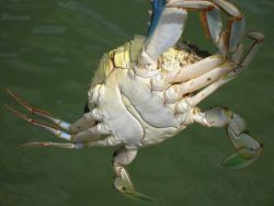 Male blue crab Photo