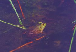 Frog peaking out of the marsh. Photo