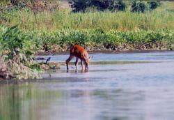 Deer having a morning drink Photo
