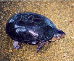 Mud turtle in a Patuxent River marsh Photo
