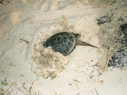 Snapping turtle taking refuge in a sandy beach Photo